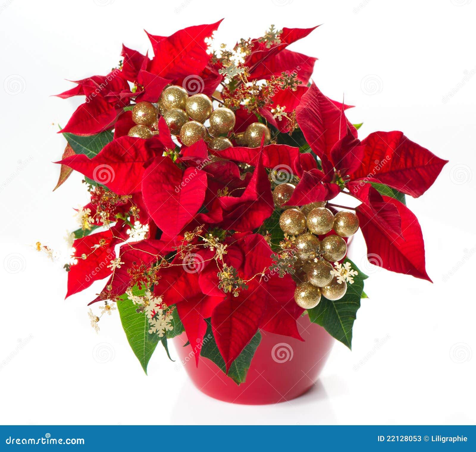 poinsettia rouge fleur de no l avec le deco d 39 or photos. Black Bedroom Furniture Sets. Home Design Ideas