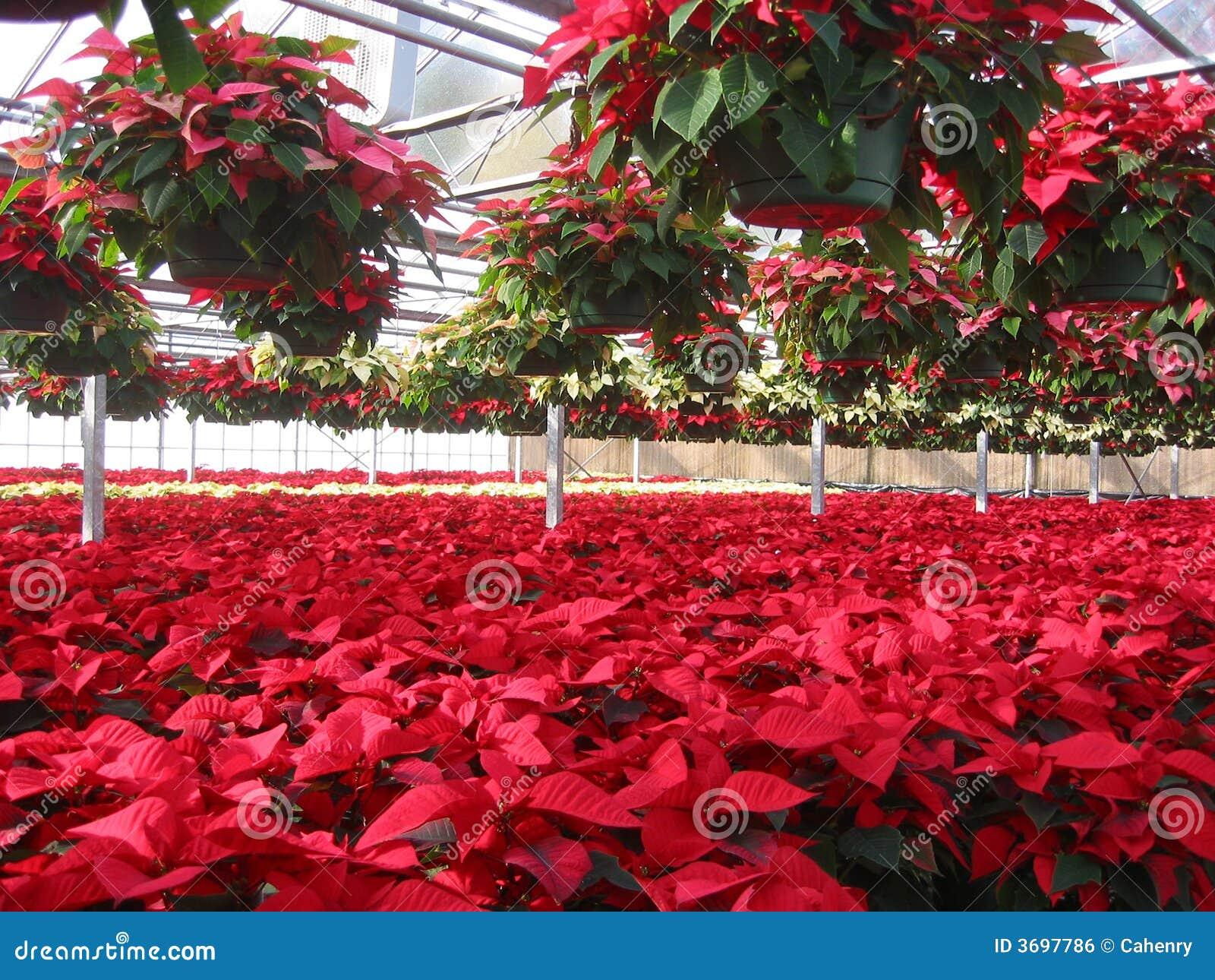 Poinsettia s καλλιεργητών θερμοκηπίων
