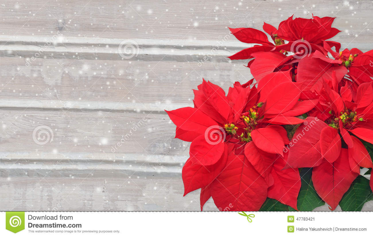 Poinsettia and snow christmas flower on wooden background