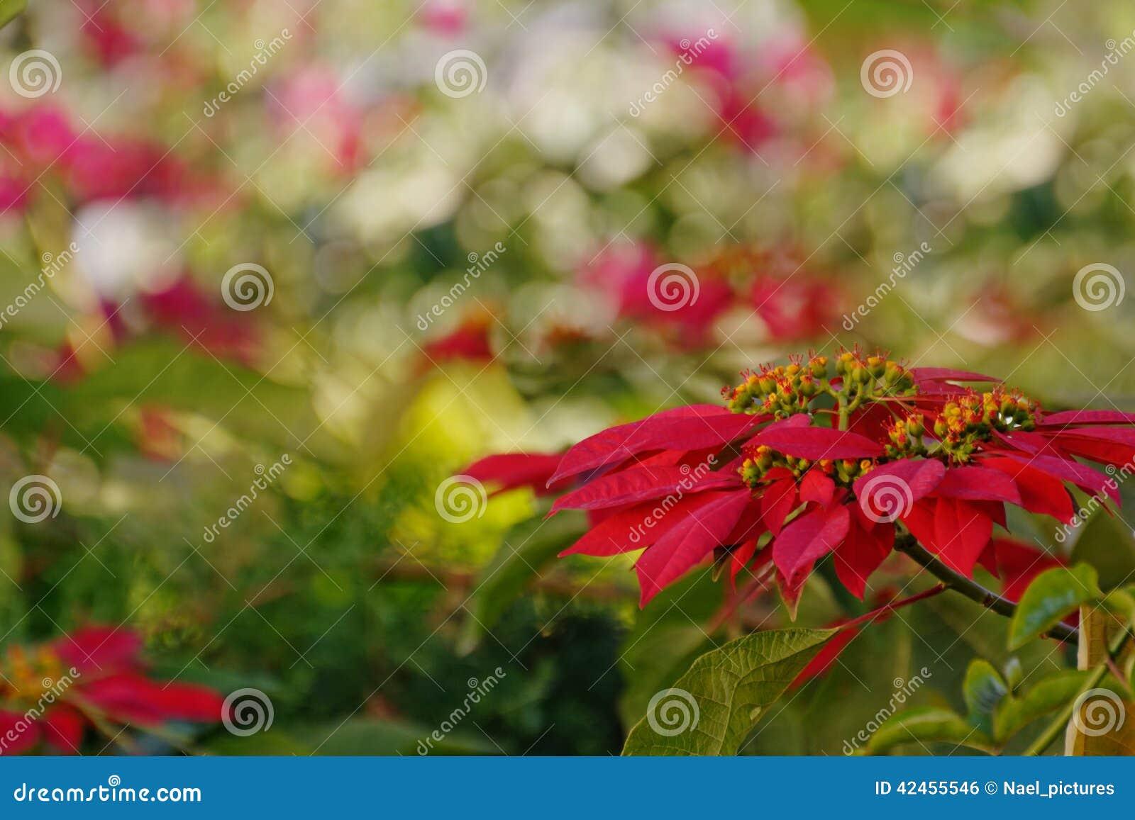 Poinsettiablume