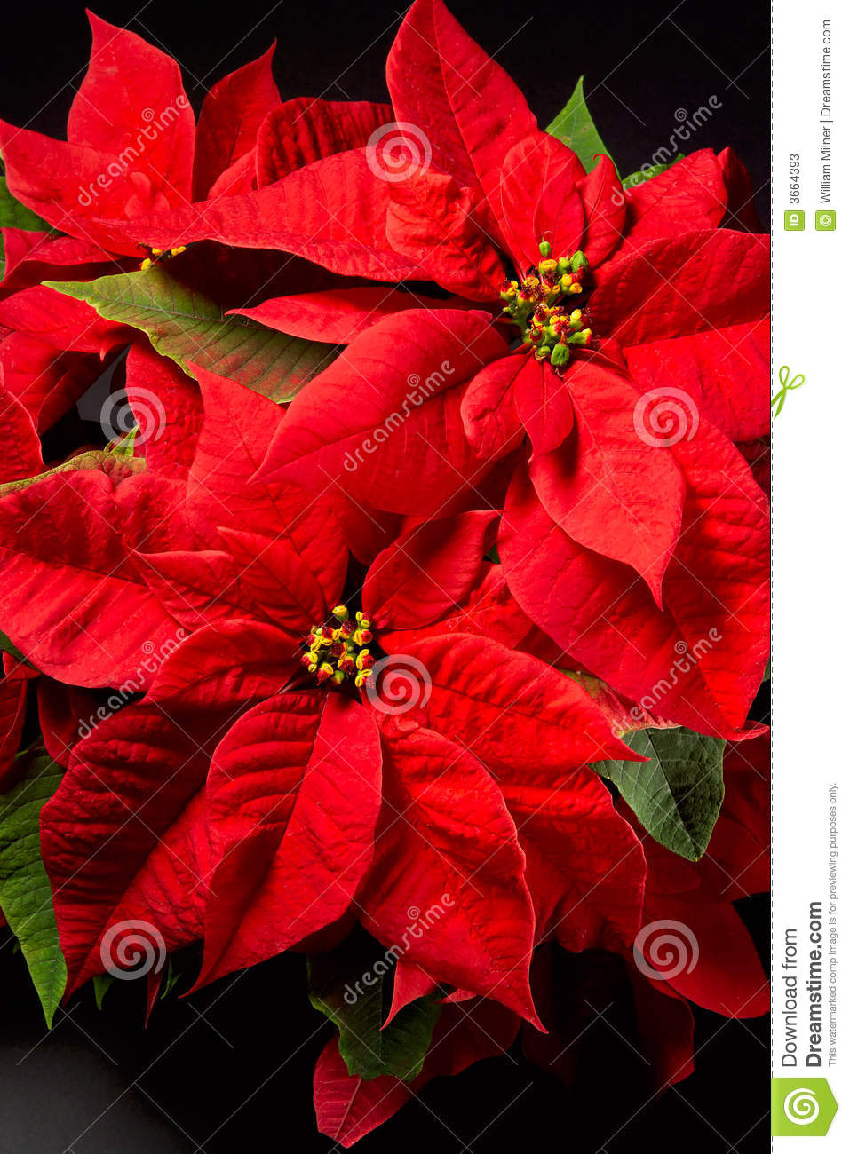 poinsettias photos stock image 3664393. Black Bedroom Furniture Sets. Home Design Ideas
