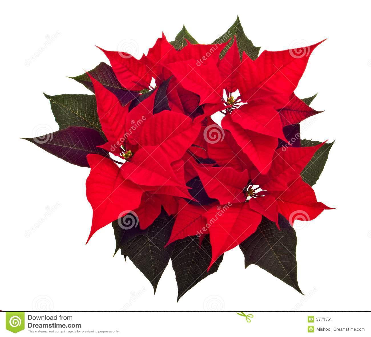 poinsettias christmas flower stock photos, images,  pictures, Beautiful flower