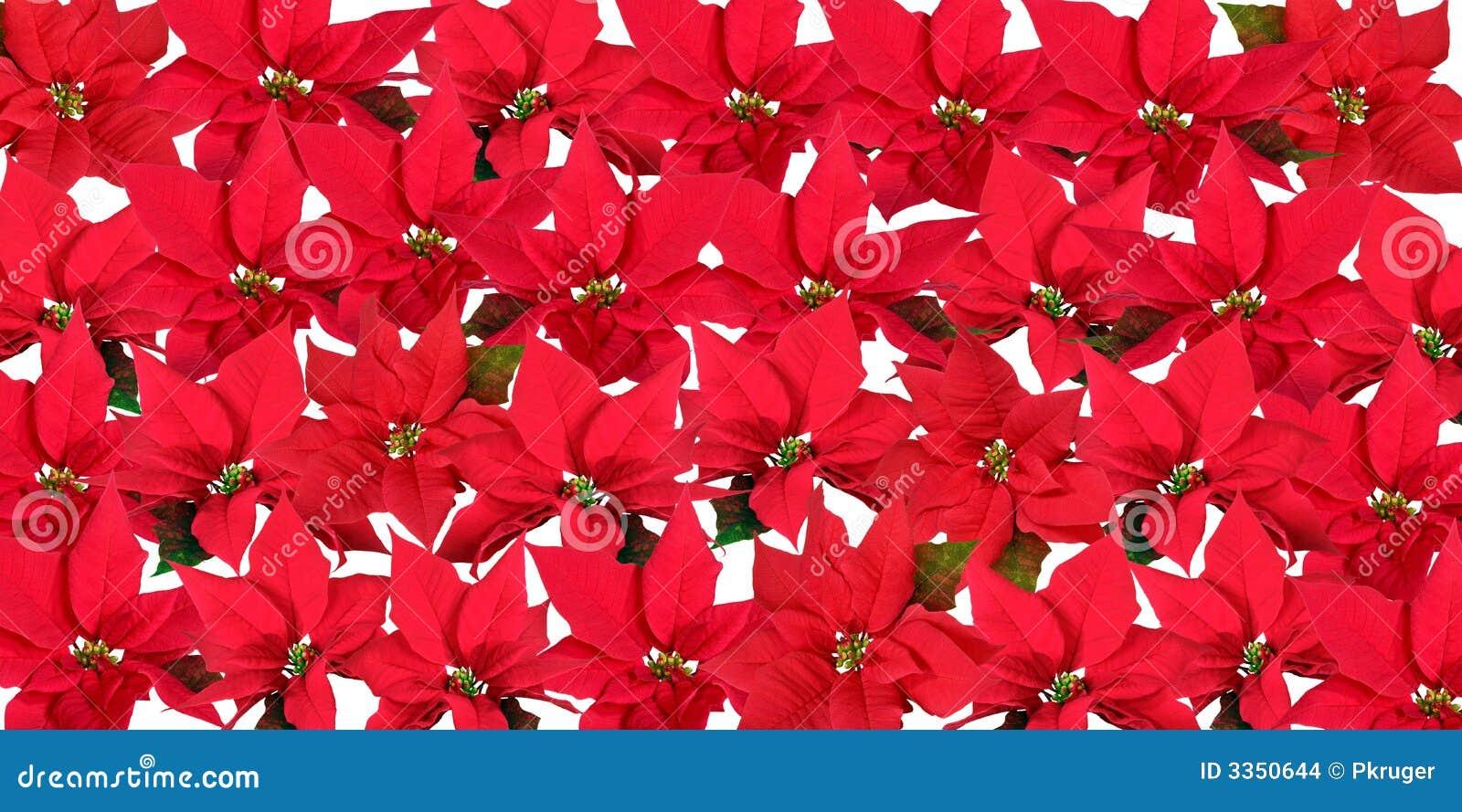 Poinsettias vermelhos - fundo