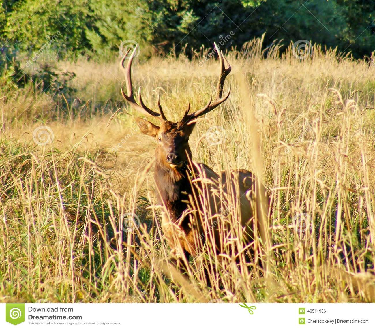 5 POINT ELK LOOKING AT ME Stock Photo