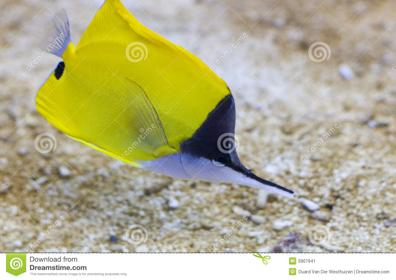 Pointed Nose Fish Stock Image Image Of Ocean Masked