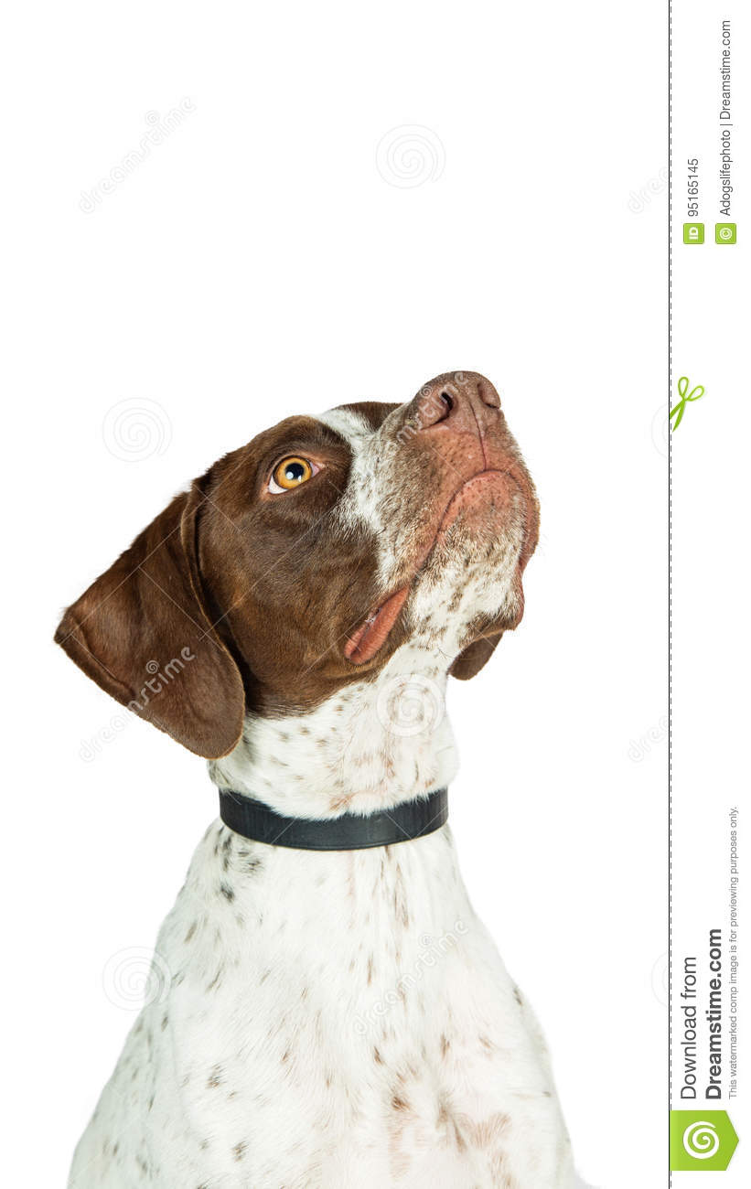 fc68e949ed1 Pointer Dog Looking Up Into Copy Space Stock Image - Image of ...