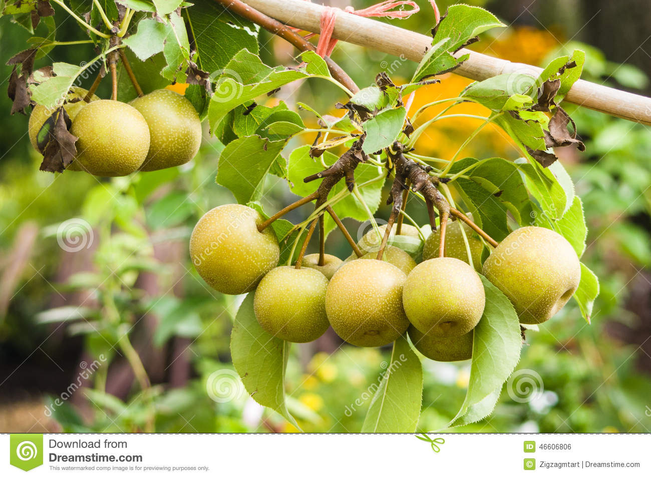 Poires asiatiques sur l 39 arbre fruitier photo stock image for Arbre fruitier