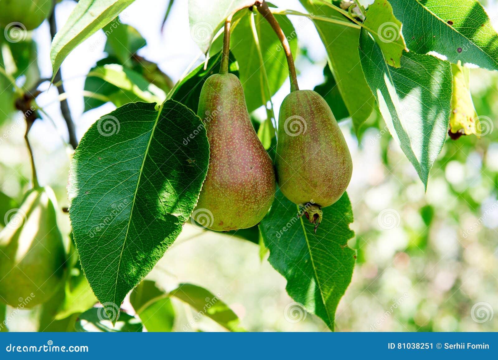 poirier avec les poires vertes poirier dans un jardin l 39 t porte des fruits jardin poires. Black Bedroom Furniture Sets. Home Design Ideas