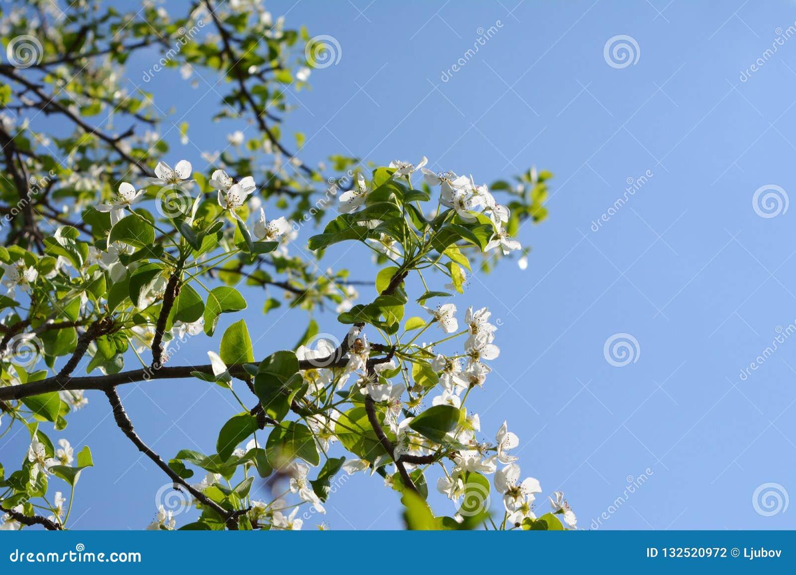 Poirier de floraison Branches avec de belles fleurs contre le ciel bleu clair