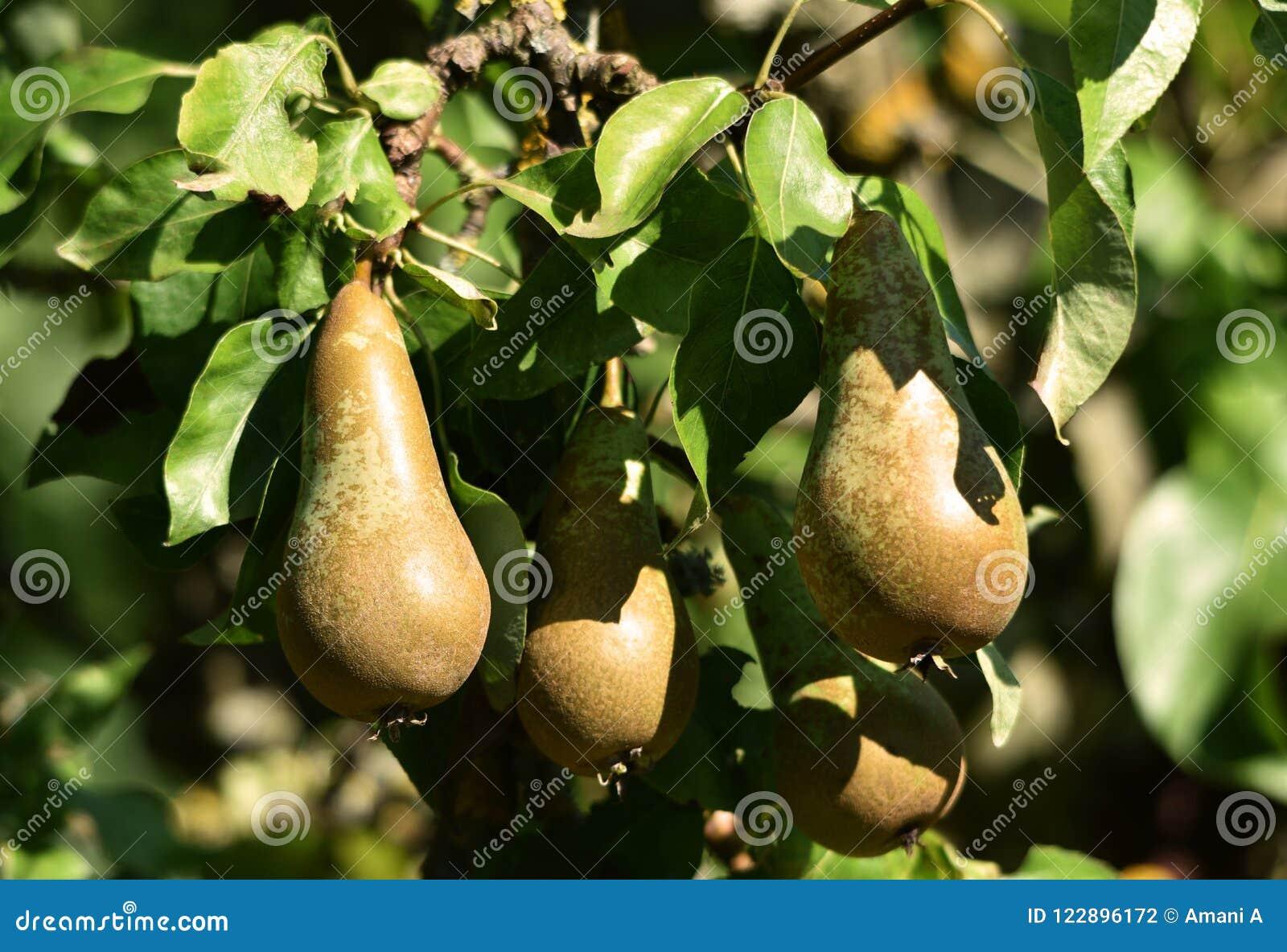 Poirier en fruit