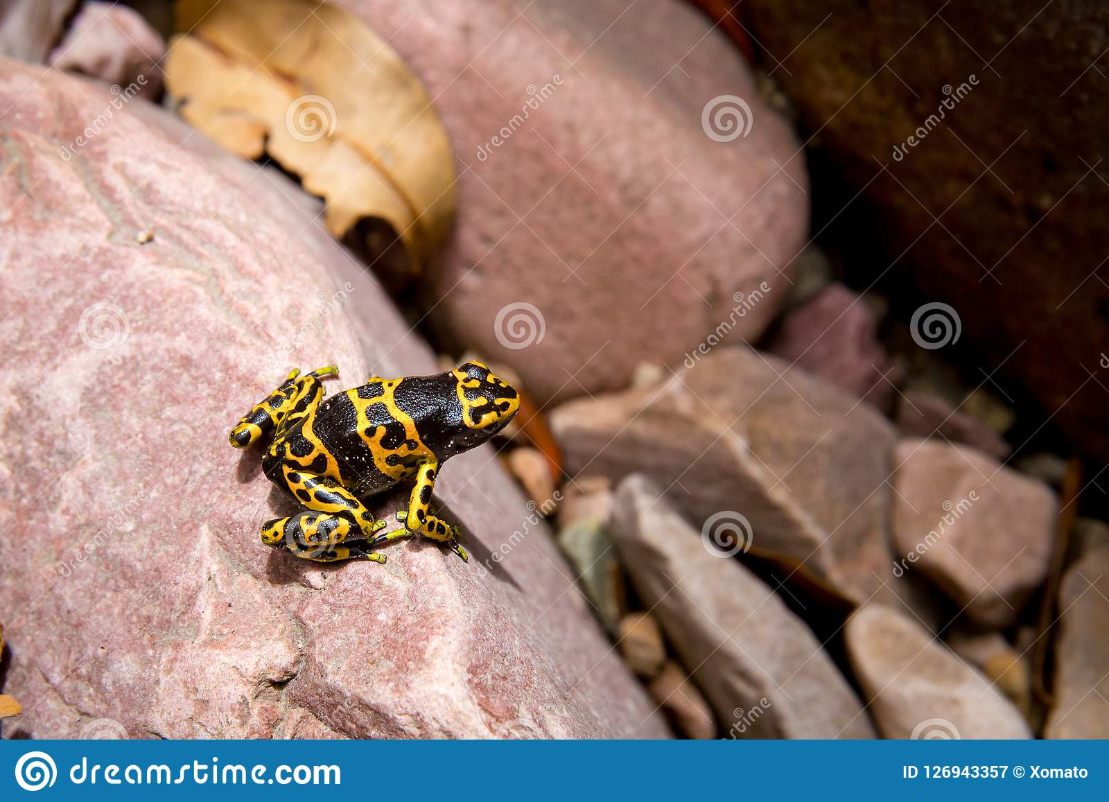 Poison-arrow gold and black frog
