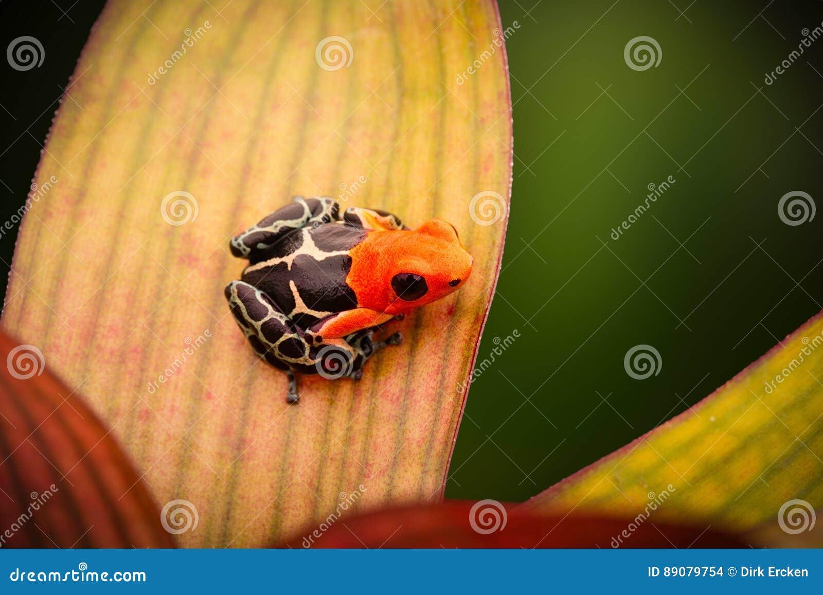 Poison dart or arrow frog, Ranitomeya fantastica
