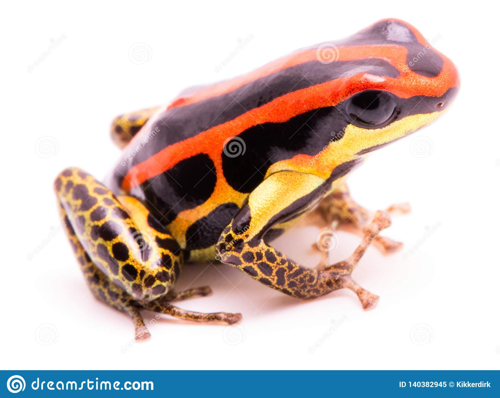 Poison dart or arrow frog, Ranitomeya uakarii golden legs morph