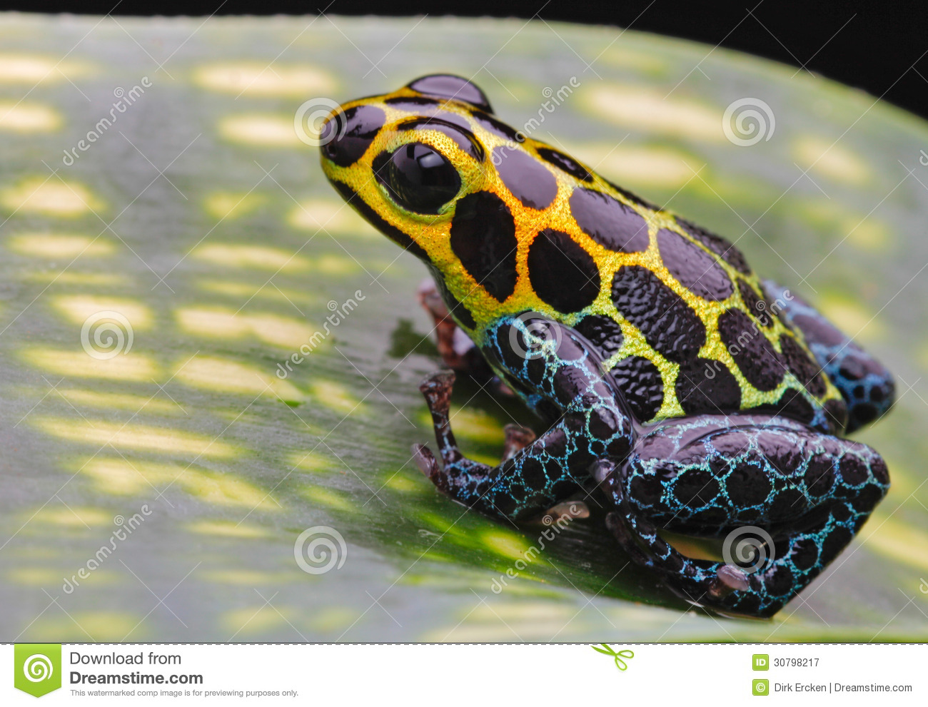 Tropical pet animal, a poison arrow frog from the Amazon rain forest ...