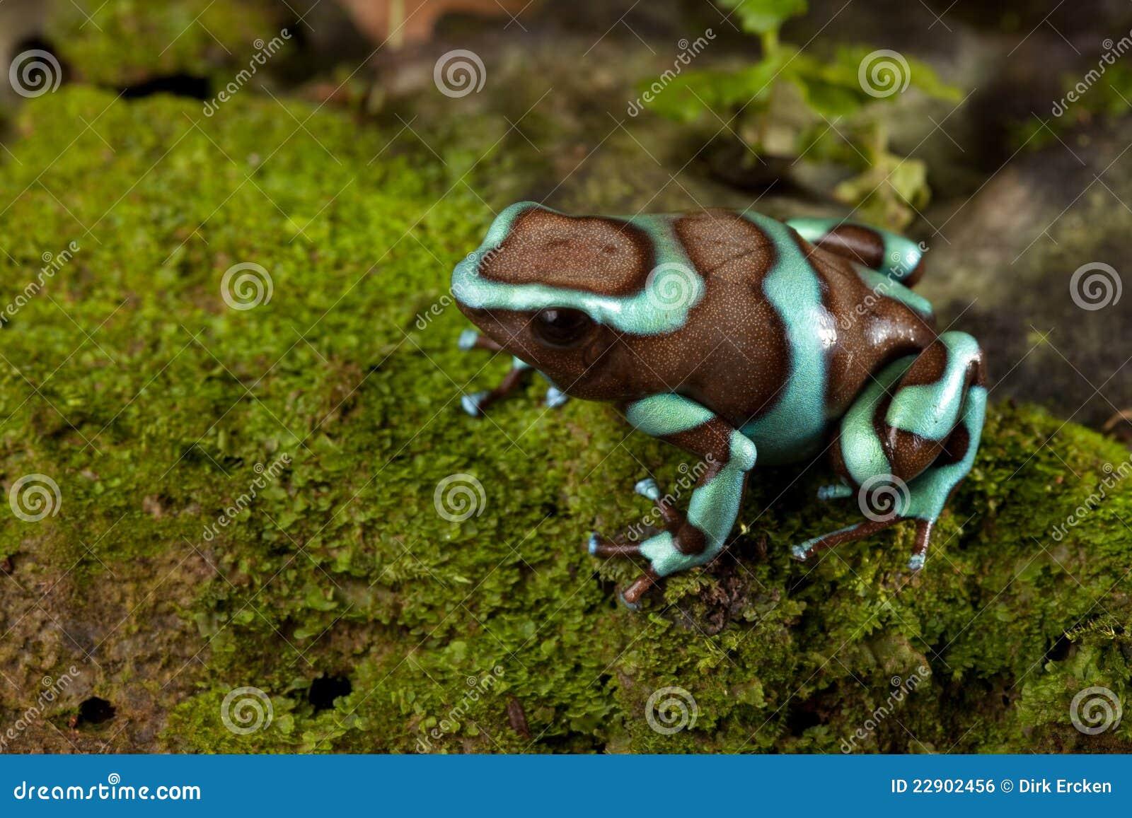 Poison Dart Frog Dendrobates Auratus Stock Photo Image Of Little