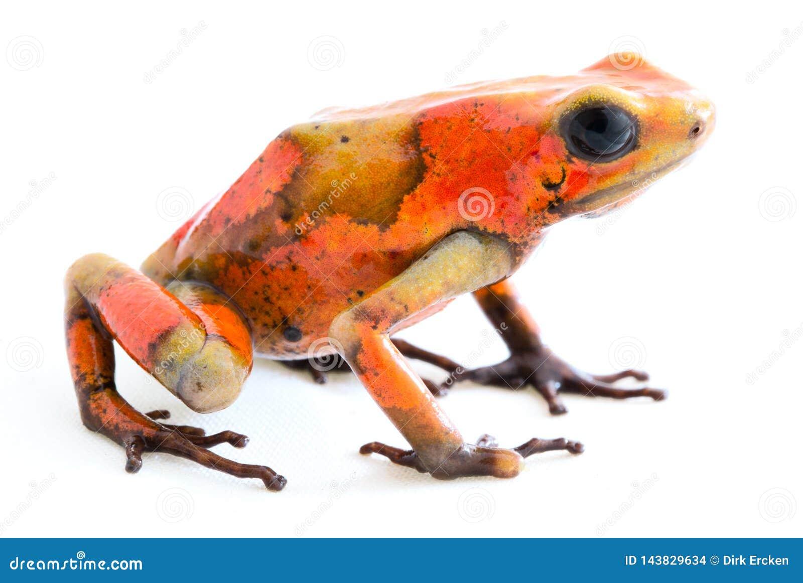 Poison dart frog, Oophaga histrionica