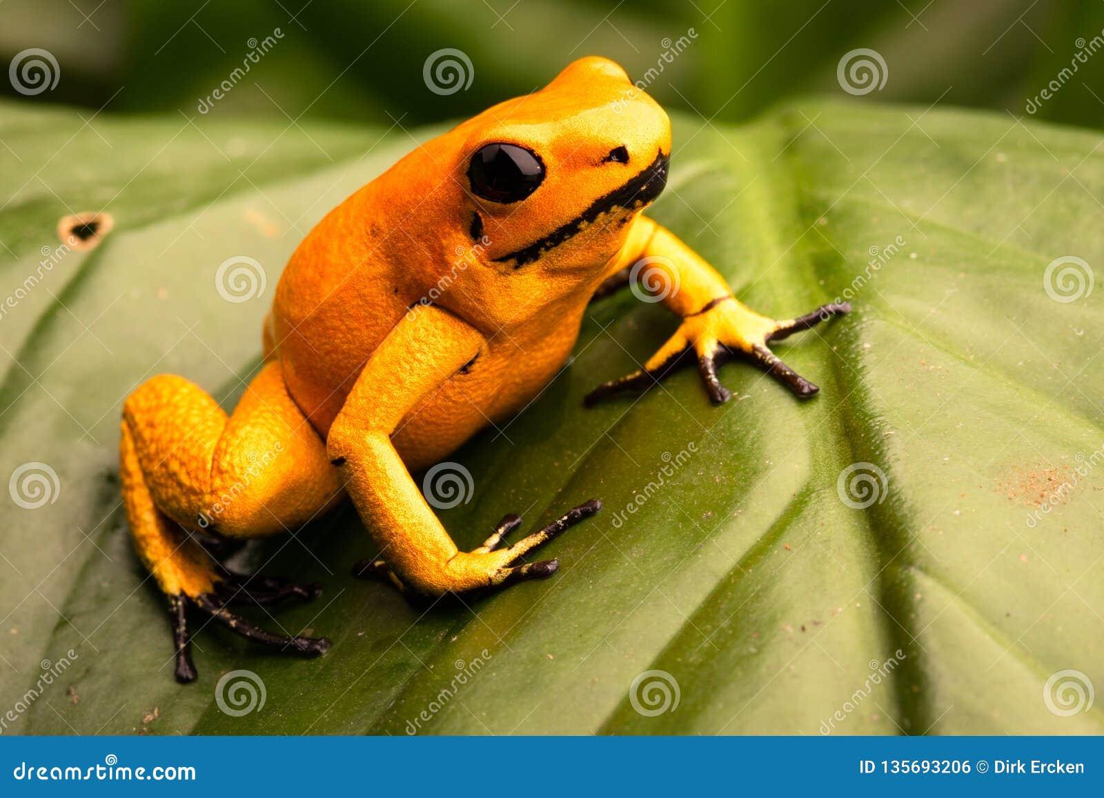Poison dart frog Phyllobates terribilis orange