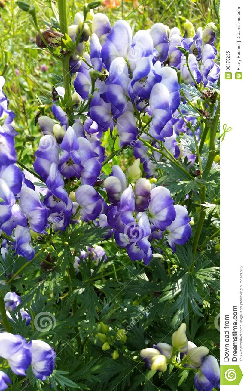 Poison flower stock image image of purple growing white 98170235 download comp mightylinksfo