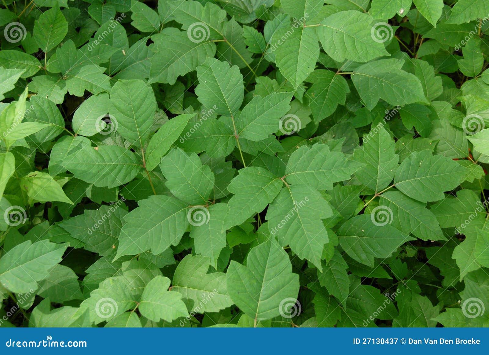 Poison ivy (disambiguation)