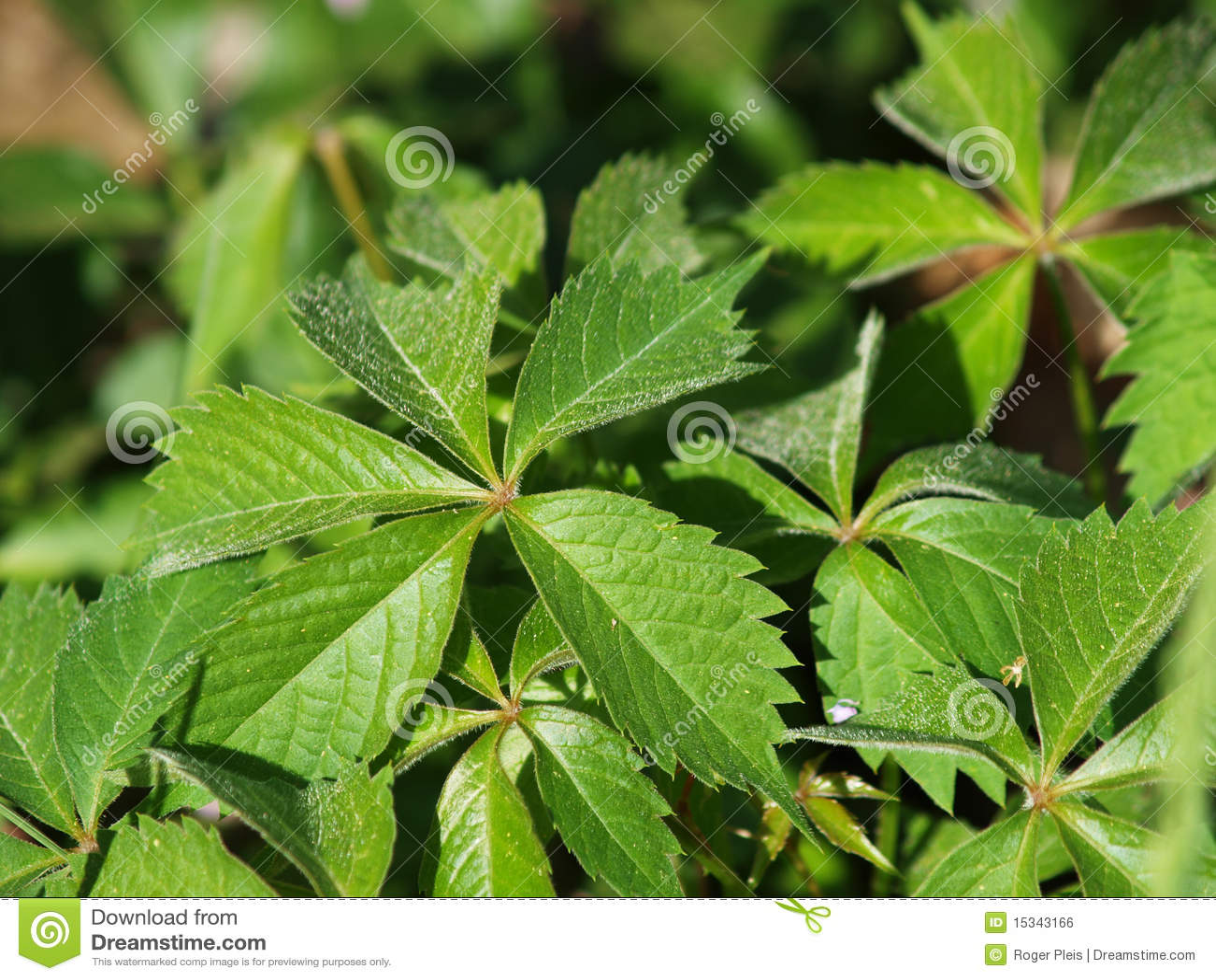 Poison Oak Plan... Poison Oak Whole Plant