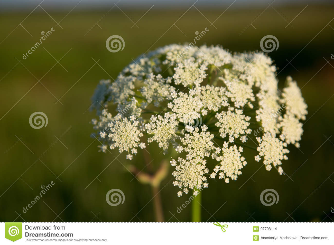 Poisonous flower white hemlock closeup shallow depth of filed stock download poisonous flower white hemlock closeup shallow depth of filed stock photo image of blossom mightylinksfo