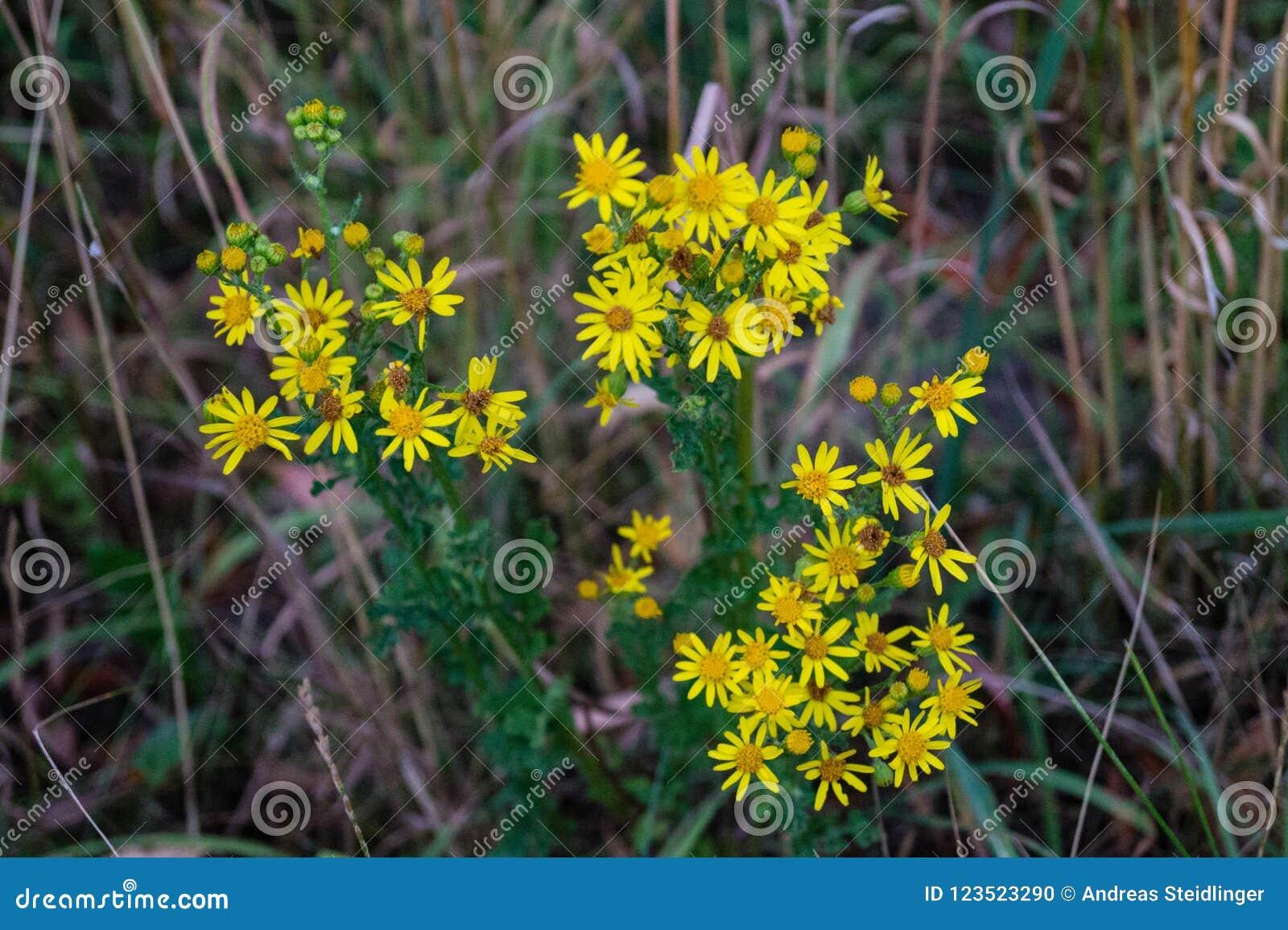 Poisonous Senecio Jacobaea Stock Photo Image Of Common 123523290