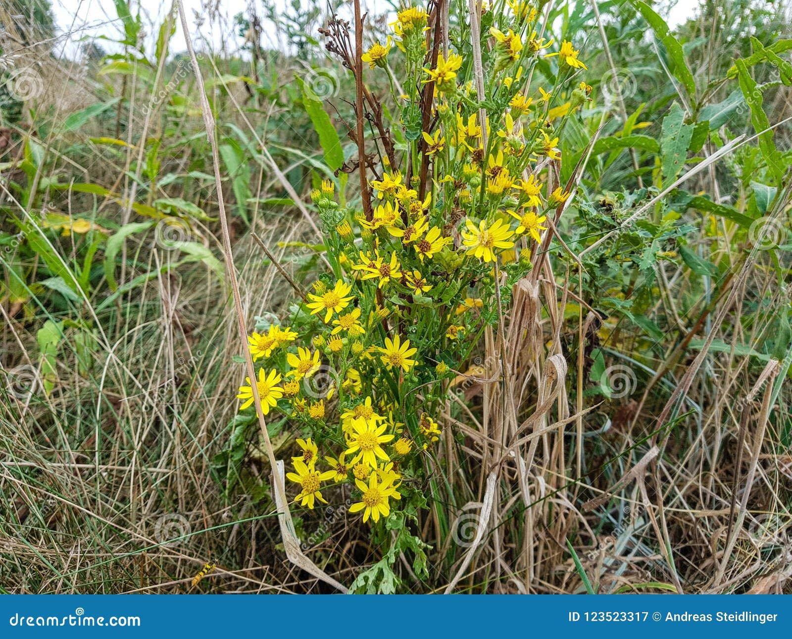 Poisonous Senecio Jacobaea Stock Image Image Of Macro 123523317
