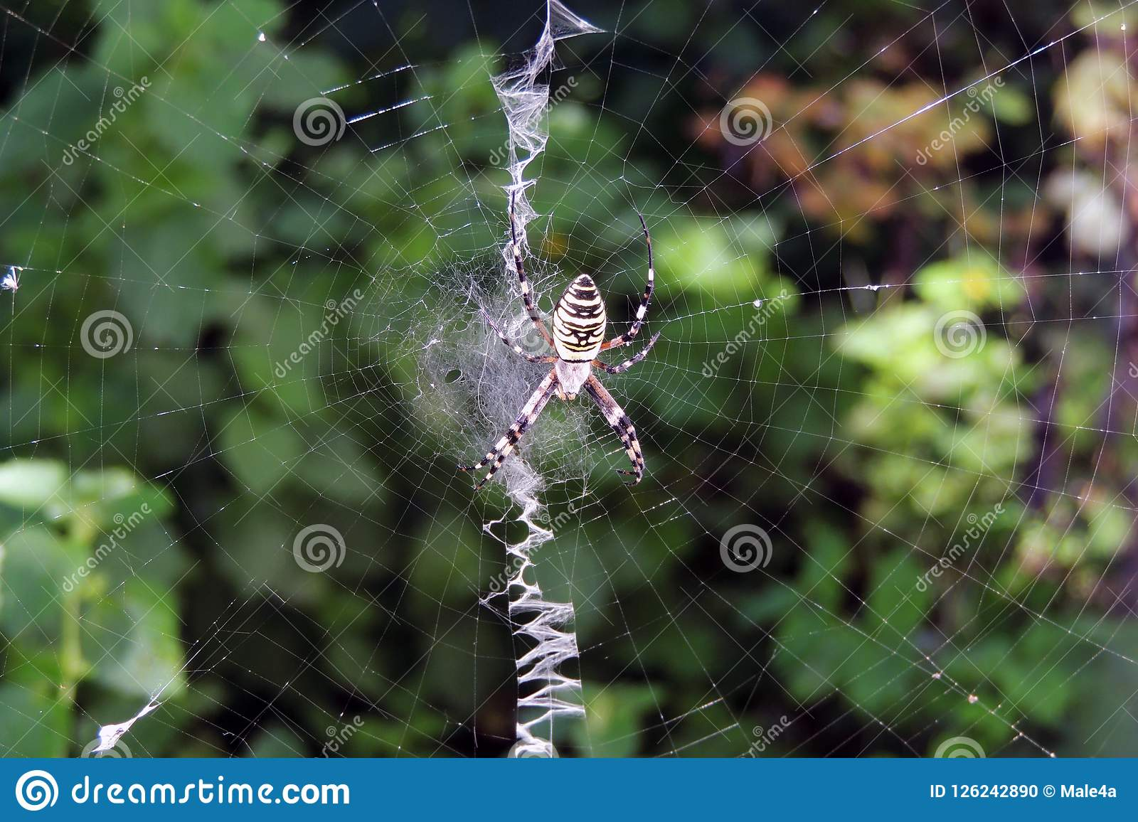 A Poisonous Spider On A Cobweb Stock Photo Image Of Danger