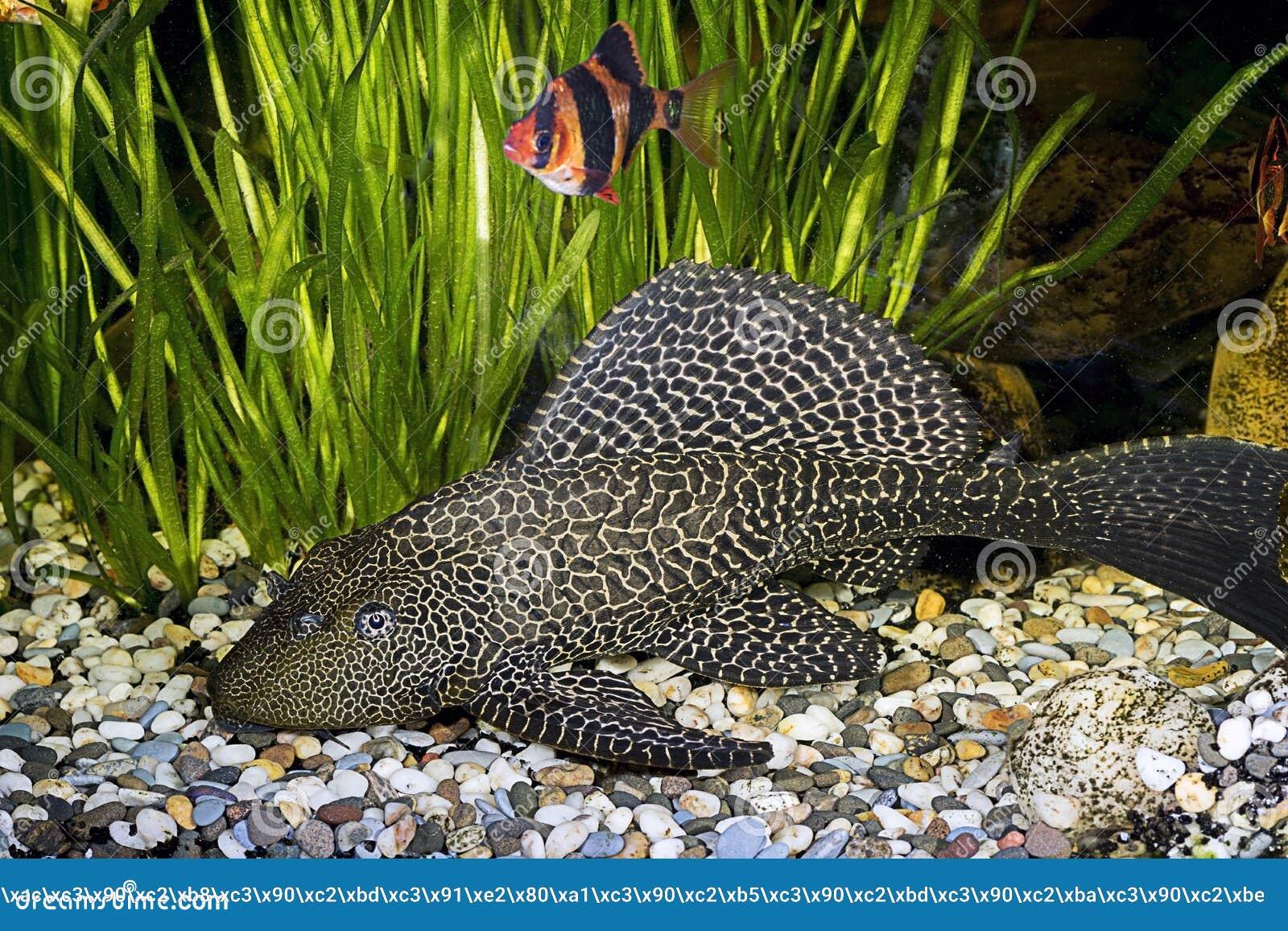 poisson chat blind dans l 39 aquarium la maison photo stock image 47997324. Black Bedroom Furniture Sets. Home Design Ideas