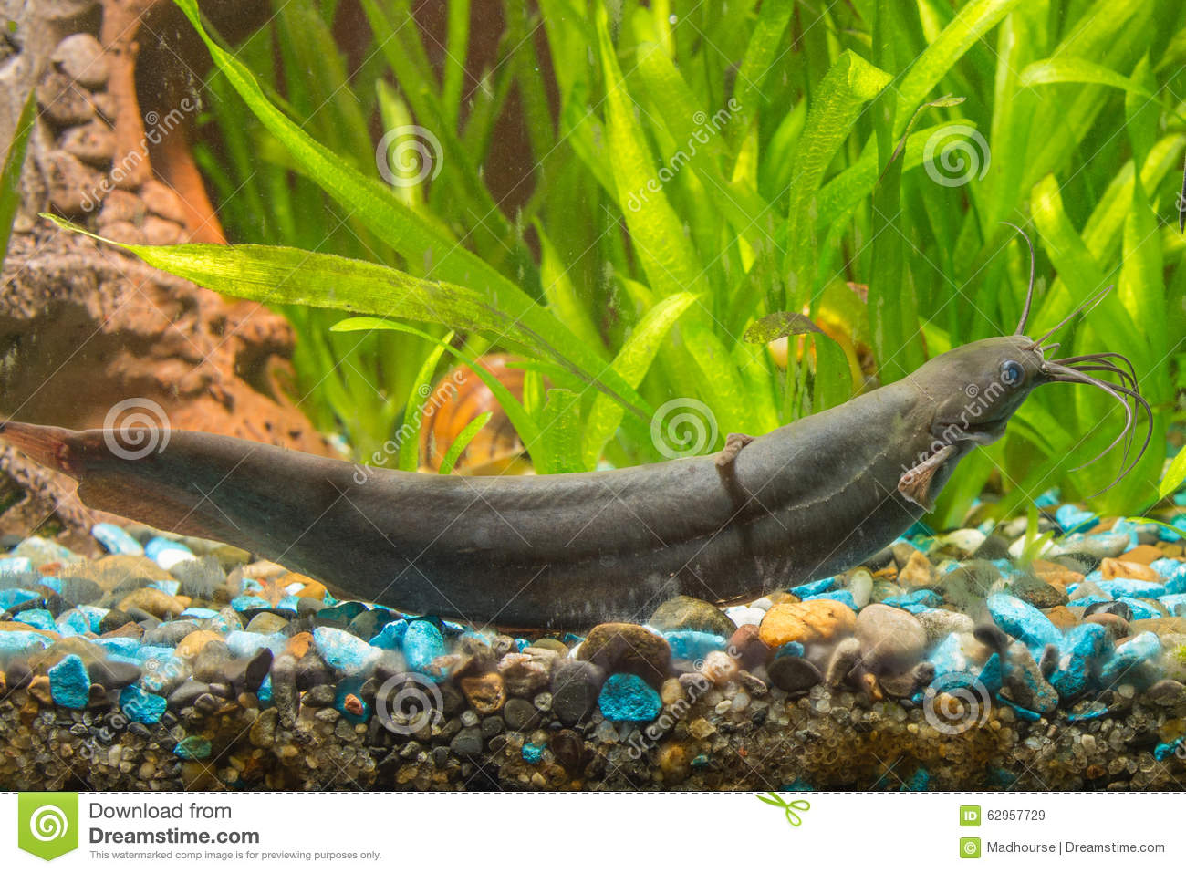 poisson chat cuisant dans l aquarium d eau douce photo stock image 62957729