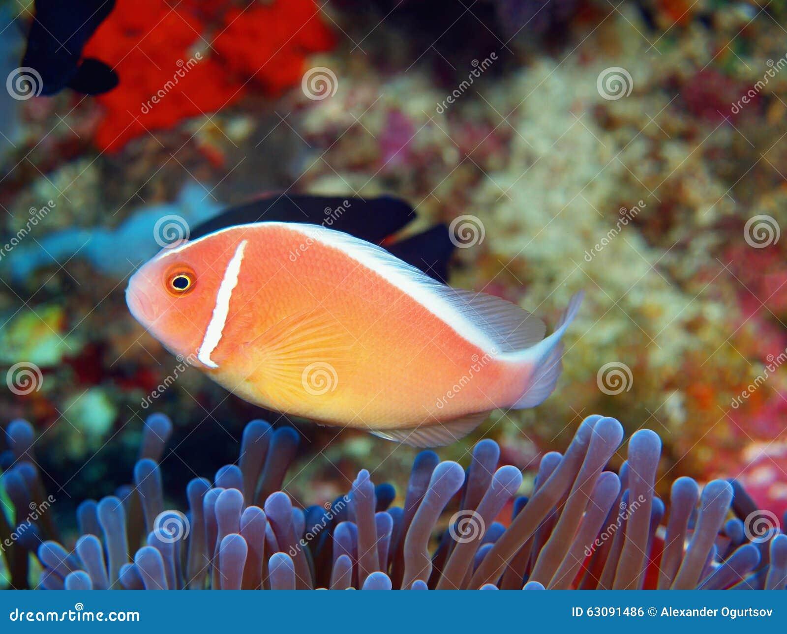 Download Poisson-clown photo stock. Image du île, animal, corail - 63091486
