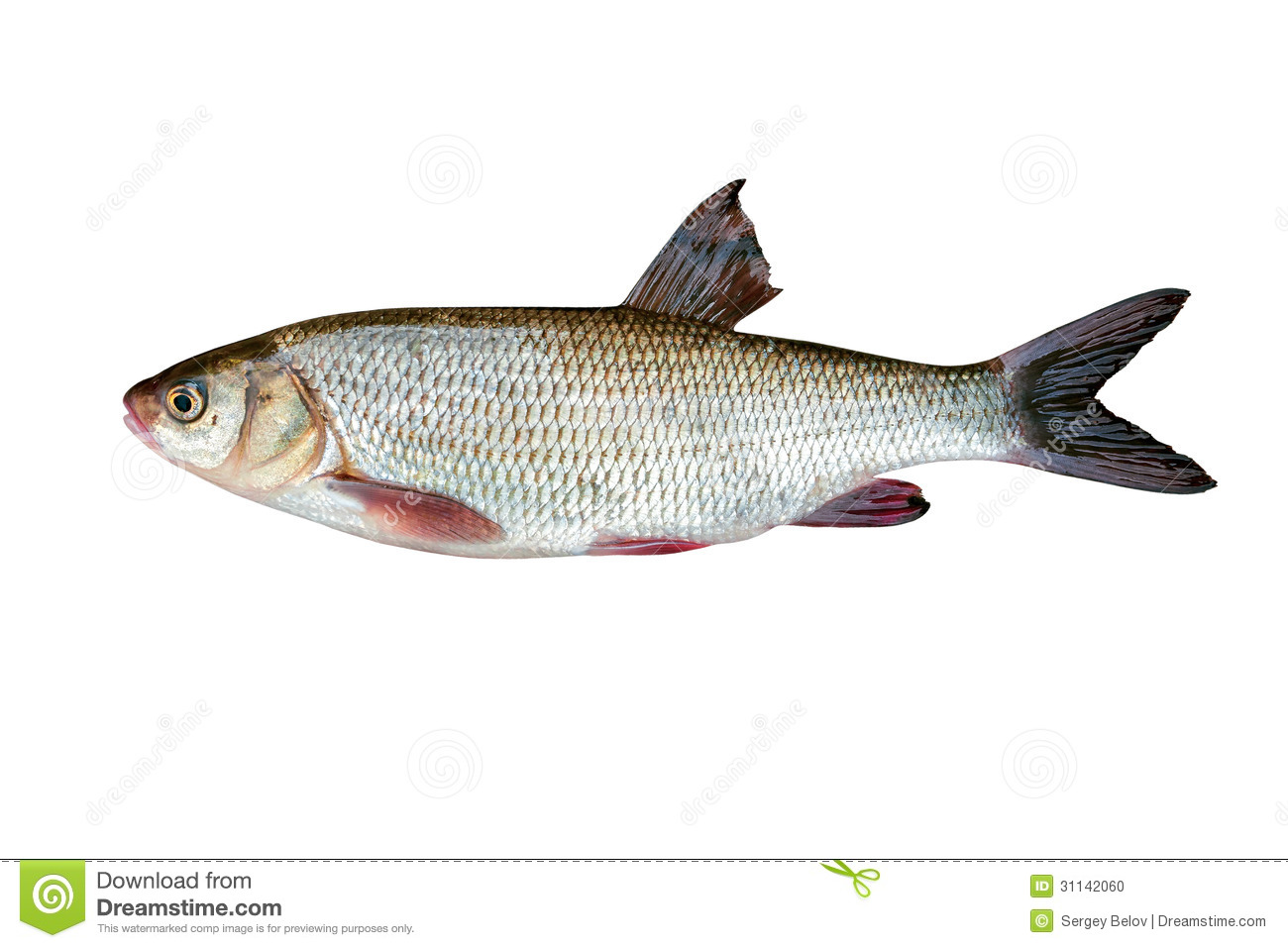 Poisson d 39 eau douce photo stock image 31142060 for Poisson eau douce