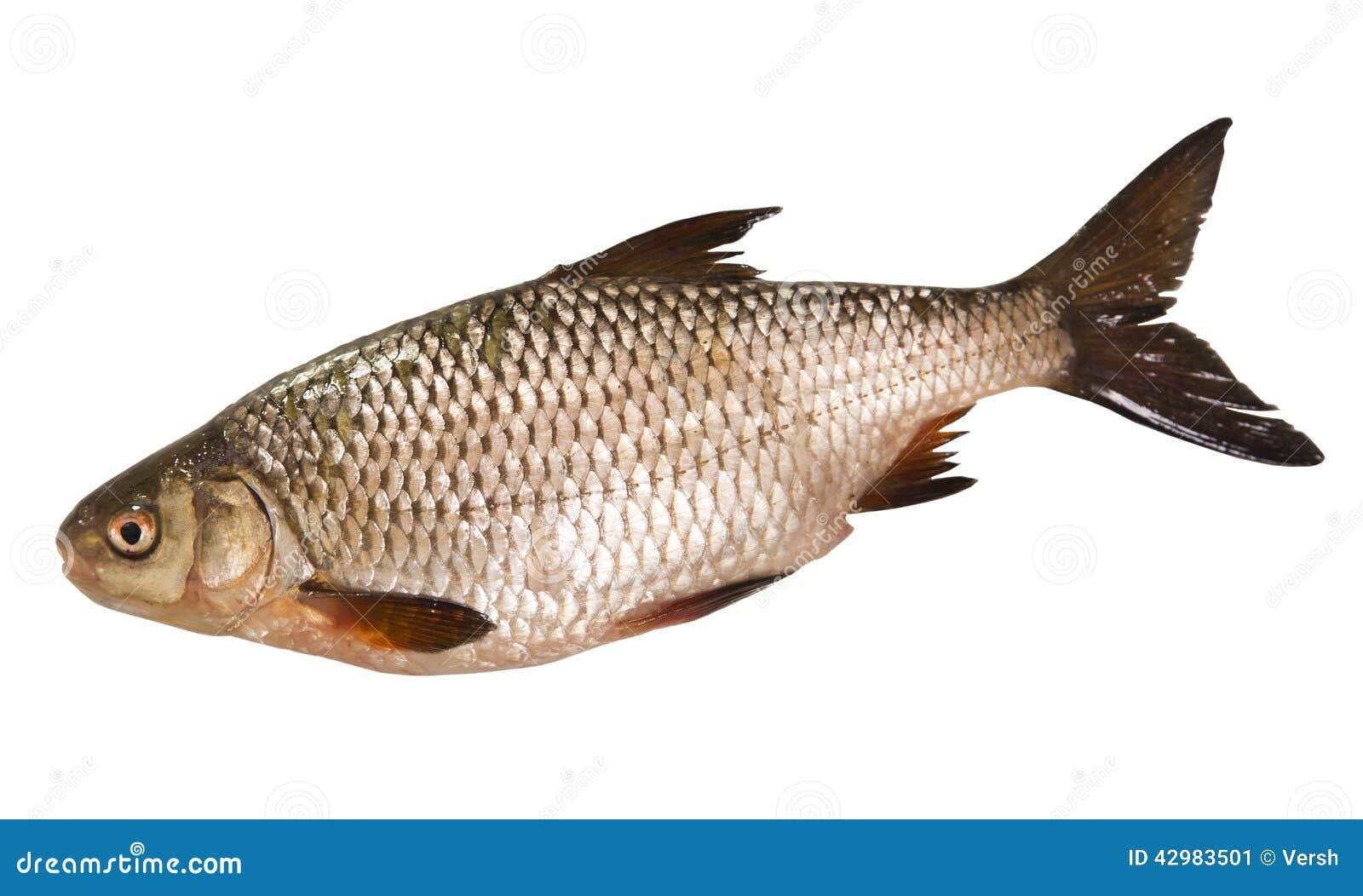 poisson d 39 eau douce de gardon d 39 isolement sur le fond blanc image stock image 42983501. Black Bedroom Furniture Sets. Home Design Ideas