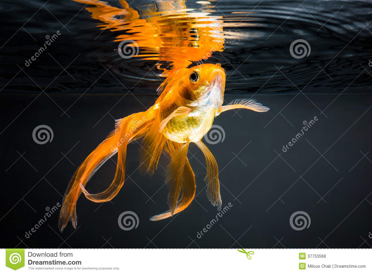 Poisson rouge photo stock image du arri re grand blanc for Prix des poissons rouges