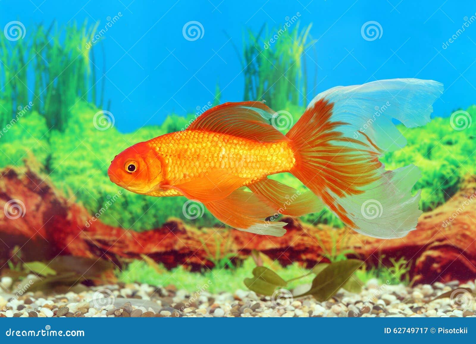 Poisson rouge avec une belle queue photo stock image for Poisson rouge queue de voile