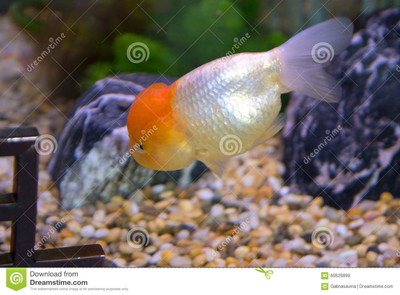 Poisson rouge d 39 aquarium oranda photo stock image for Aquarium poisson rouge avec pompe