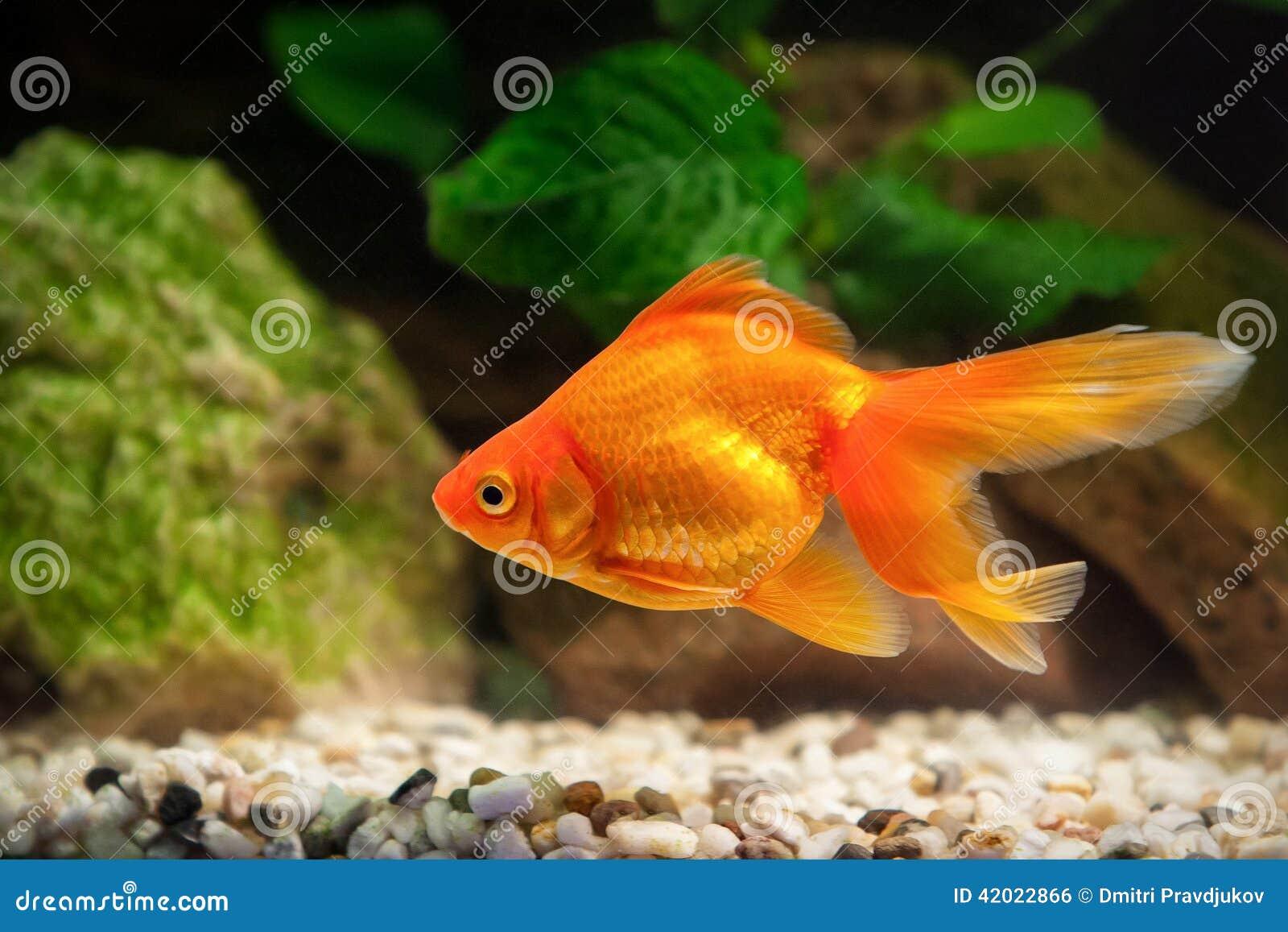 Poisson rouge dans l 39 aquarium avec les plantes vertes et for Quelle plante aquarium poisson rouge