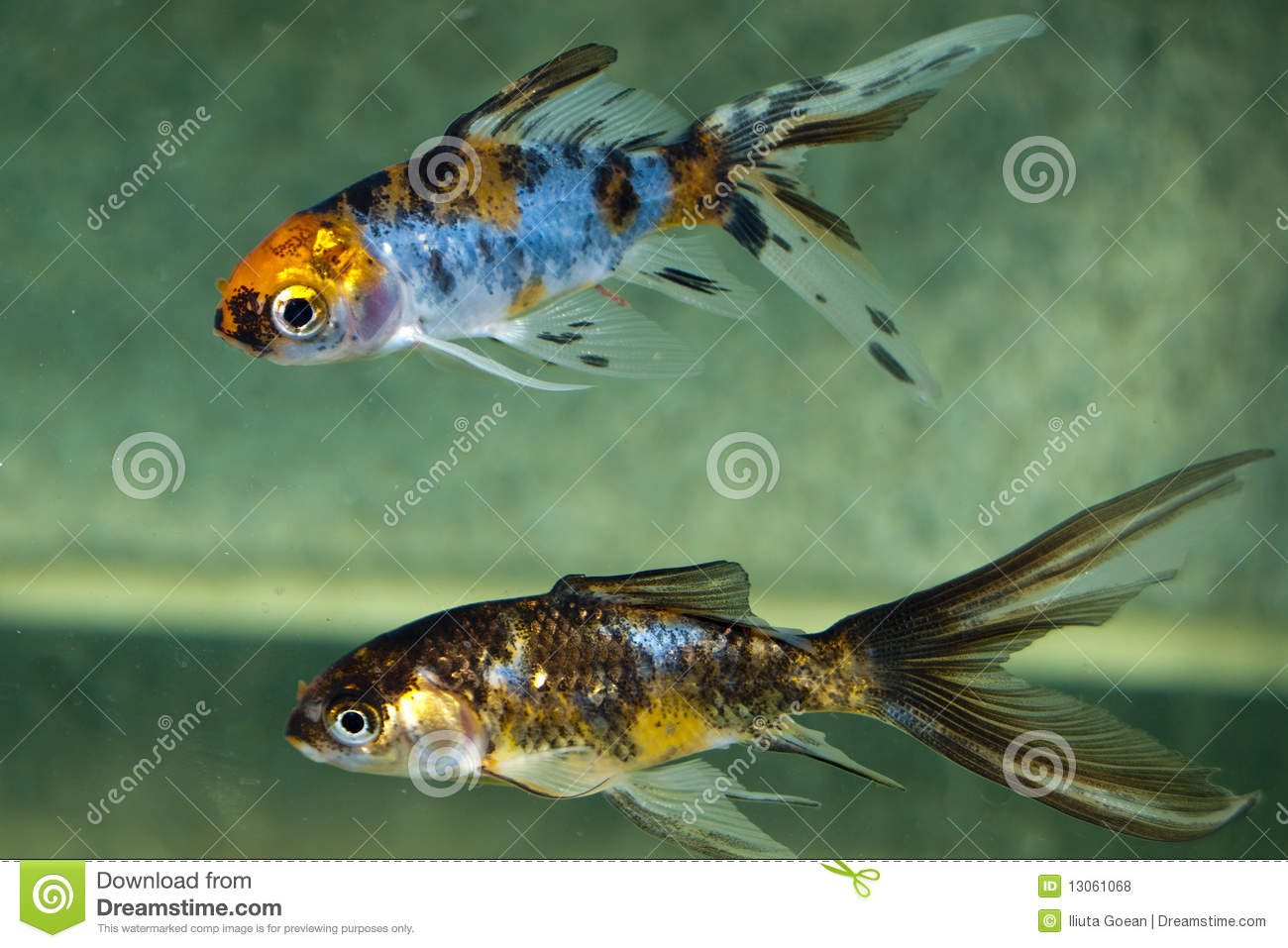 Poisson rouge de com te dans l 39 aquarium photos libres de for Achat de poisson rouge