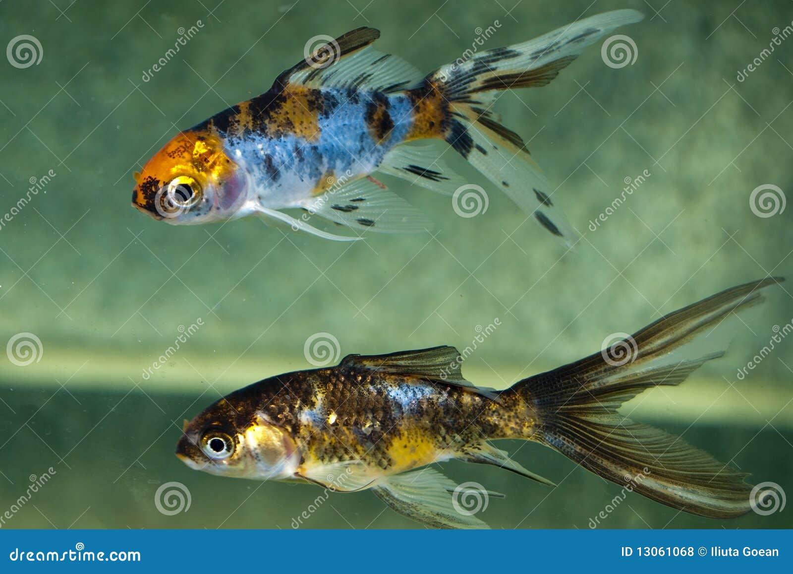 poisson de 232 te dans l aquarium photos libres de droits image 13061068