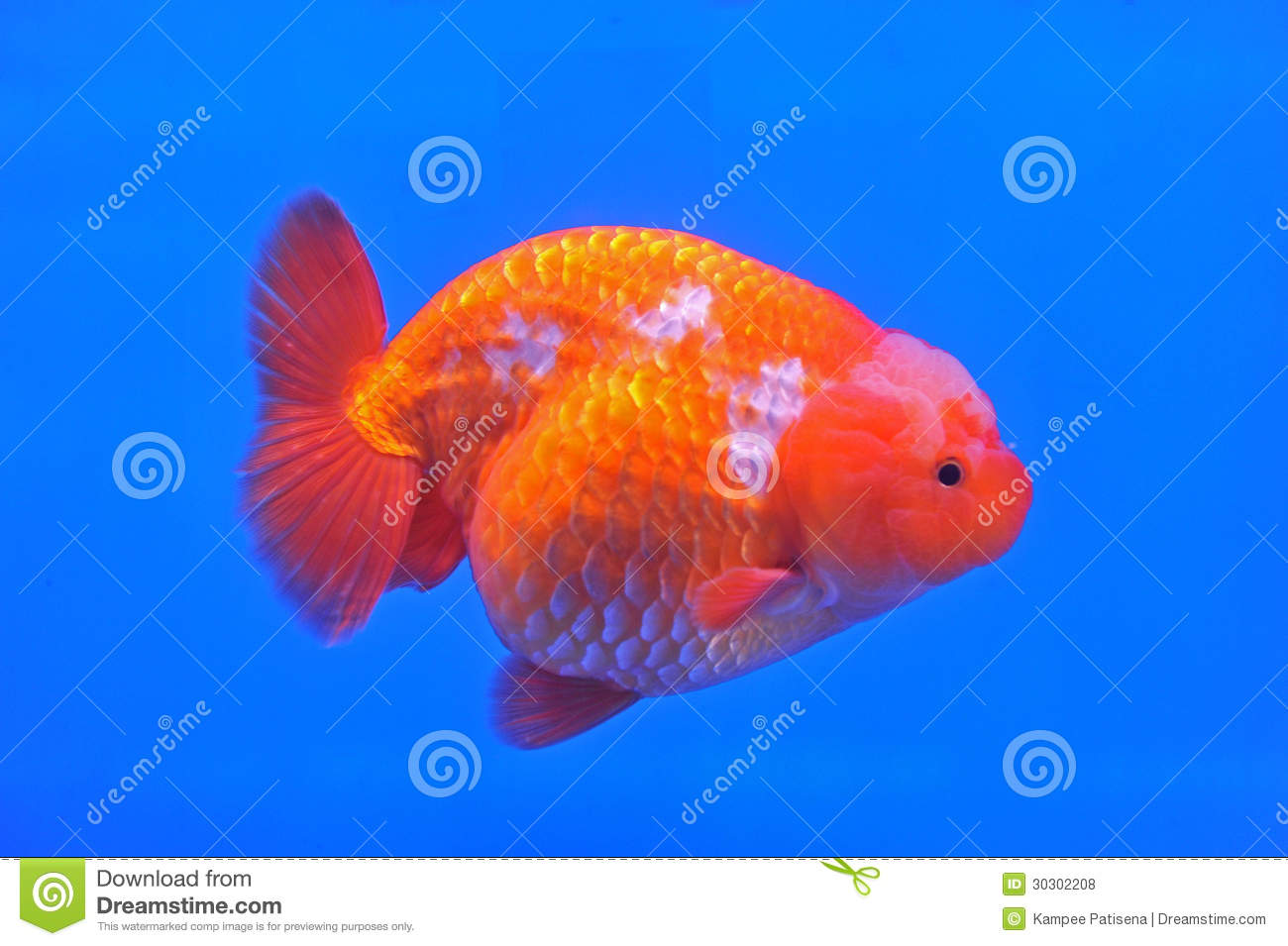 Poisson rouge de t te de lion de ranchu dans l 39 aquarium for Aquarium poisson rouge taille