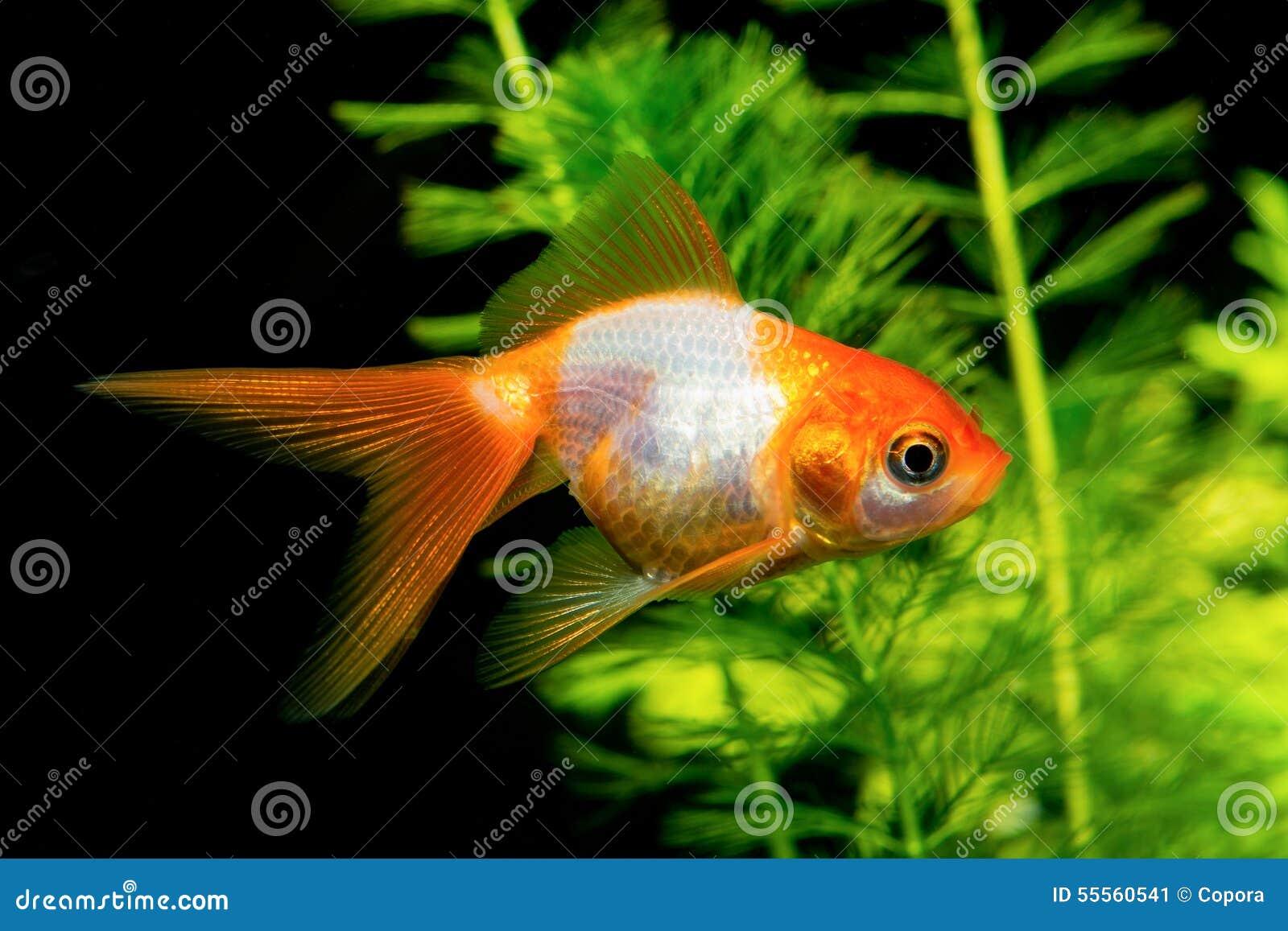 Poisson rouge orange blanc photo stock image 55560541 for Poisson rouge immobile fond aquarium