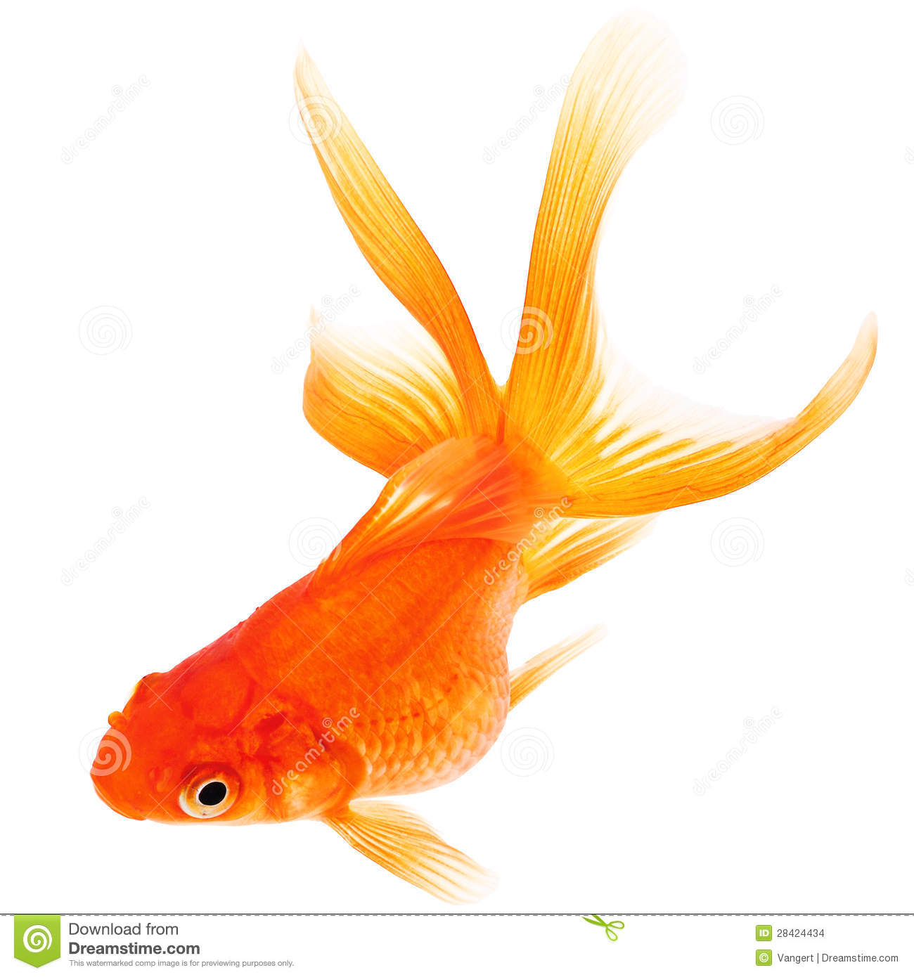 Poisson rouge sur le fond blanc photo stock image du for Petit poisson rouge