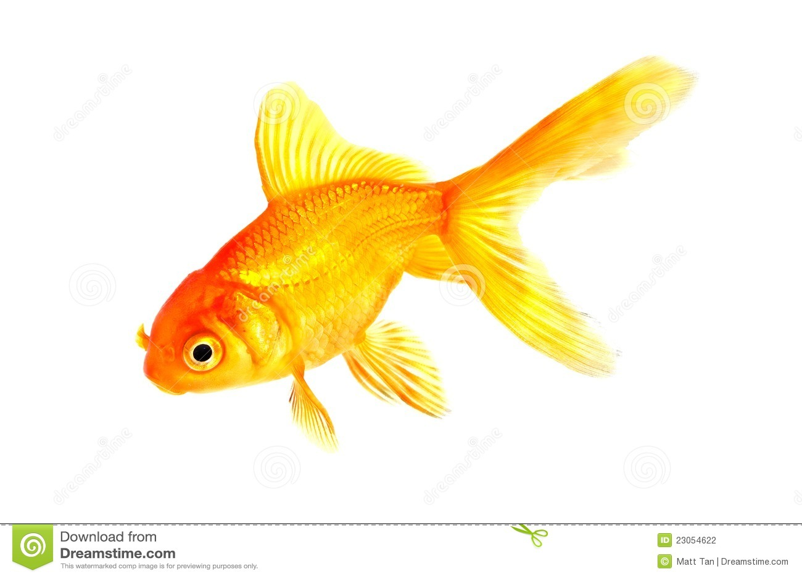 Poisson rouge tropical de poissons photographie stock for Poisson rouge reste fond aquarium