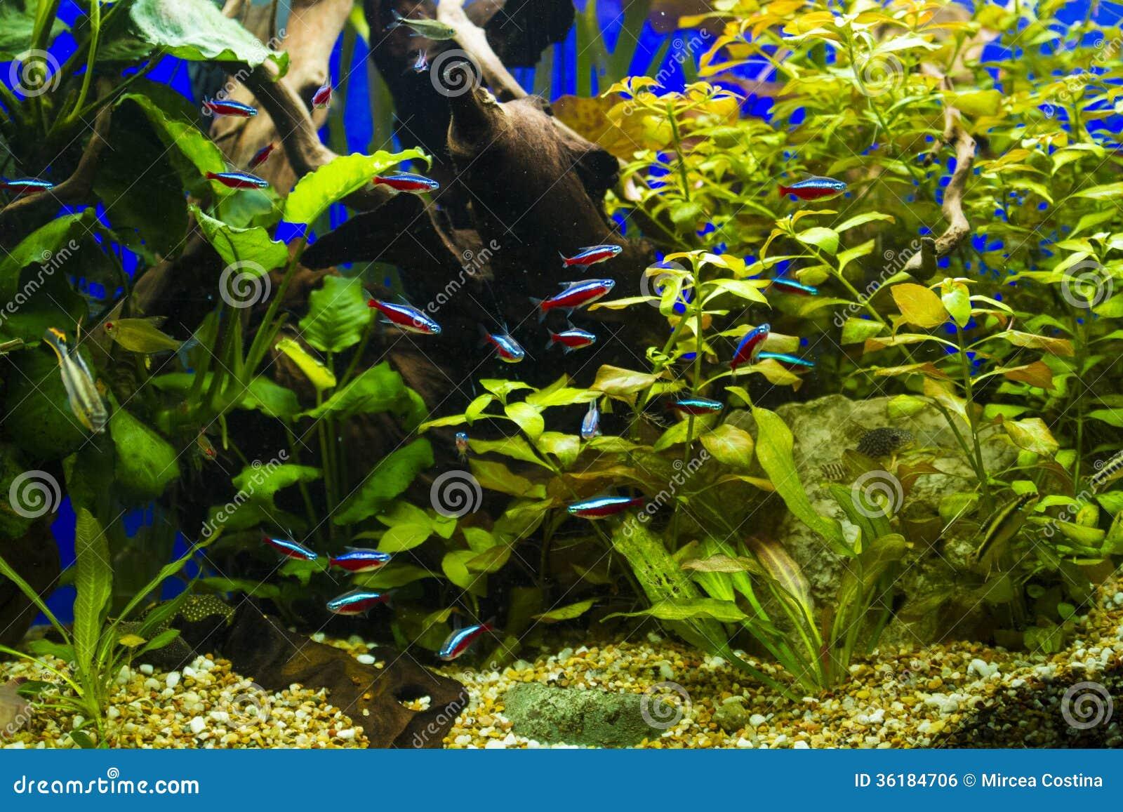 image libre de droits cardinal fishes in freshwater aquarium image 36184706. Black Bedroom Furniture Sets. Home Design Ideas
