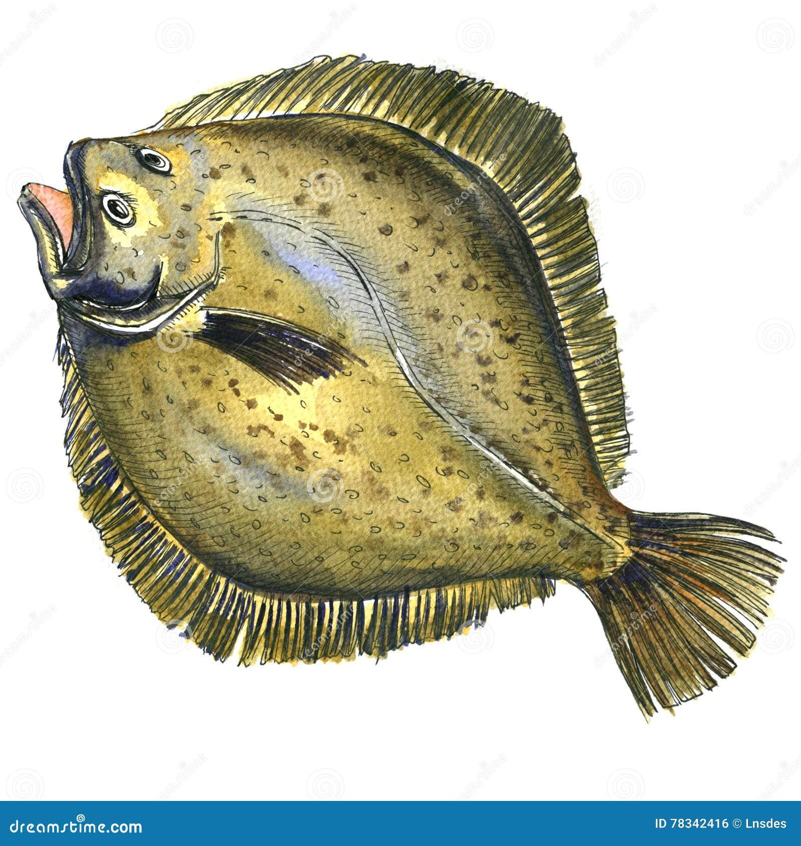 Poissons crus frais entiers de plie, poissons plats, flet, d isolement, illustration d aquarelle
