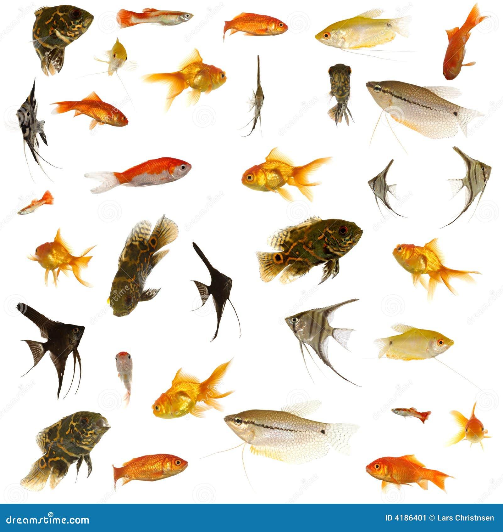 Poissons d 39 aquarium image stock image du domestique for Poisson et aquarium