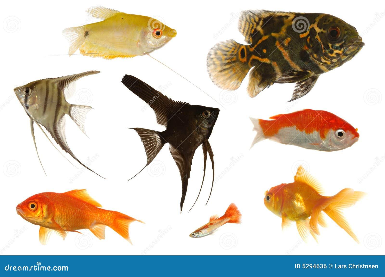 poissons d aquarium image libre de droits image 5294636