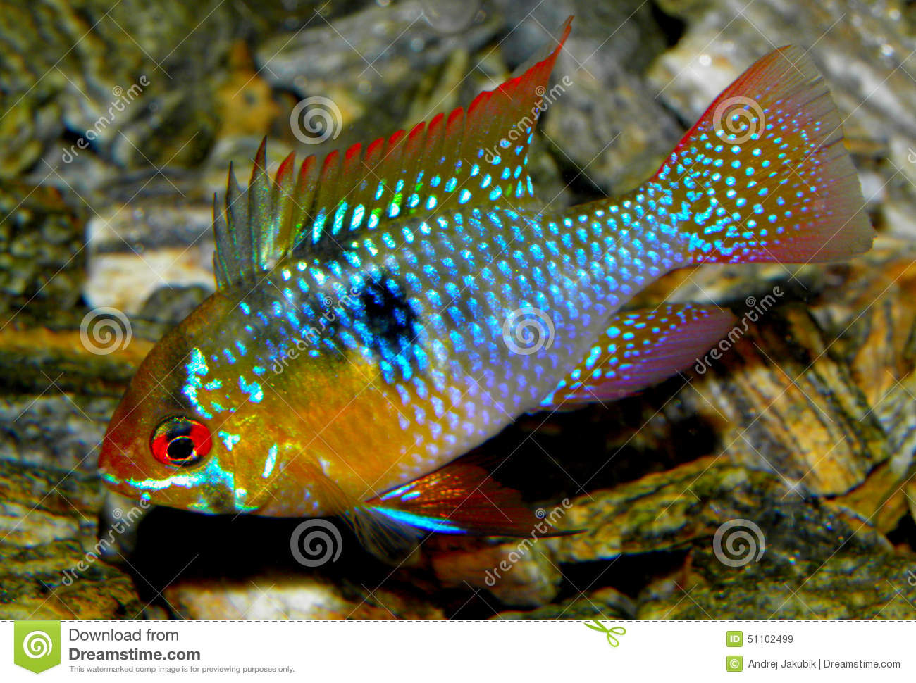 Poissons d 39 aquarium d 39 am rique du sud ramirezi d 39 eau douce for Poisson eau douce
