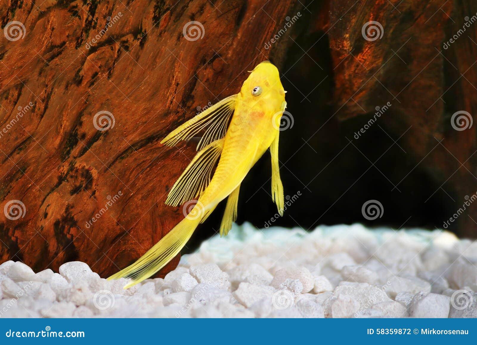 Poissons d 39 aquarium de plecostomus de dolichopterus d for Nettoyeur aquarium poisson