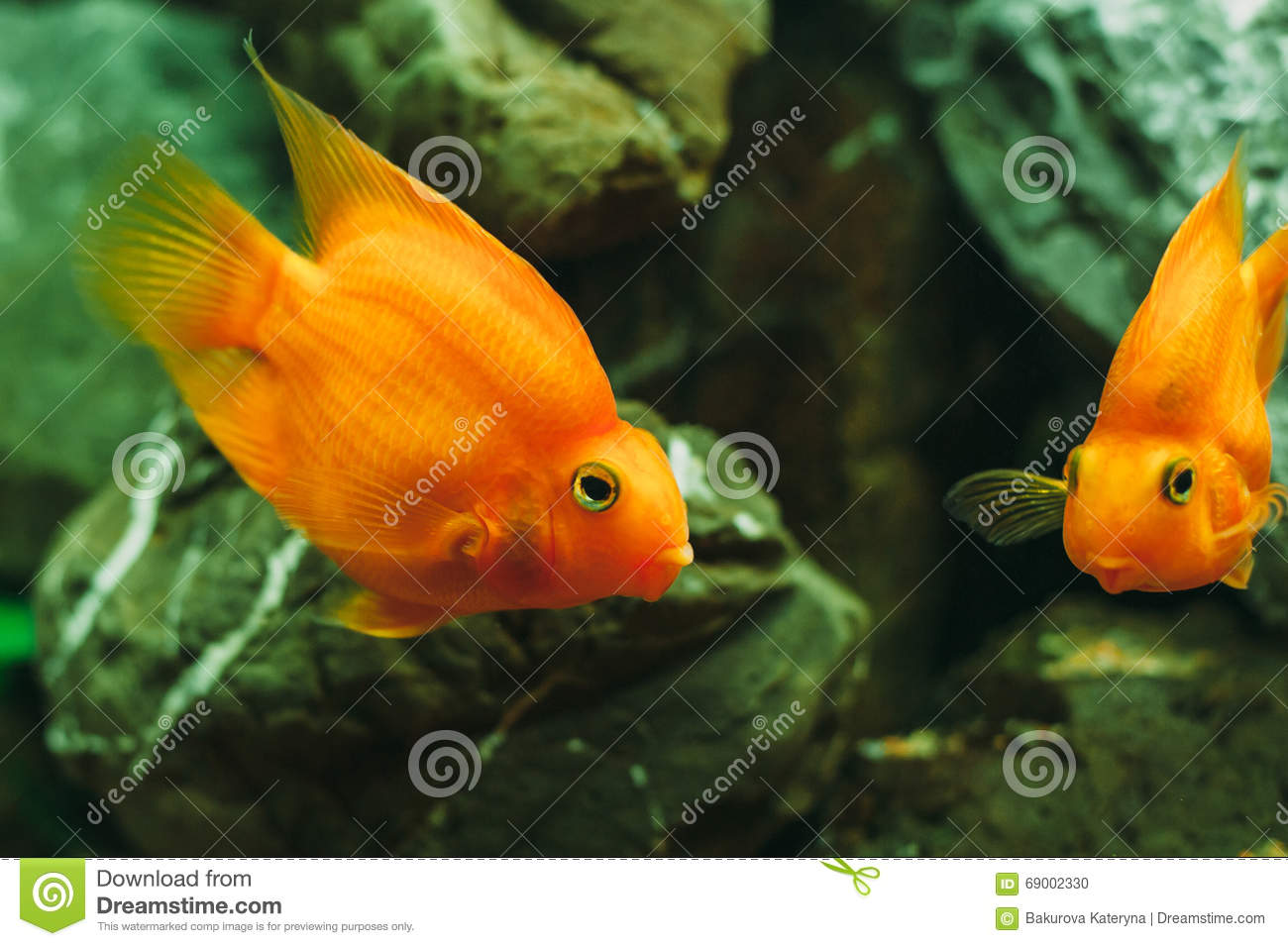 Poissons d 39 aquarium poisson rouge photo stock image for Aquarium poisson rouge taille